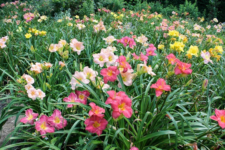 17 Best Images About Daylilies On Pinterest Gardens