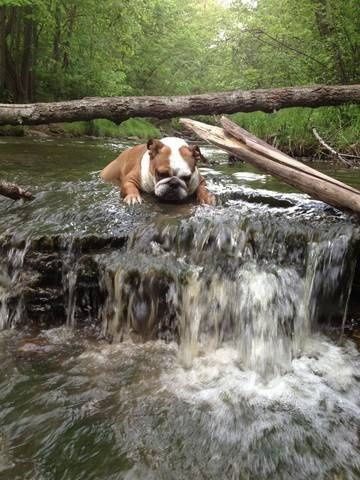 This English Bulldog is not clear on how he feels about this water.  www.bullymake.com