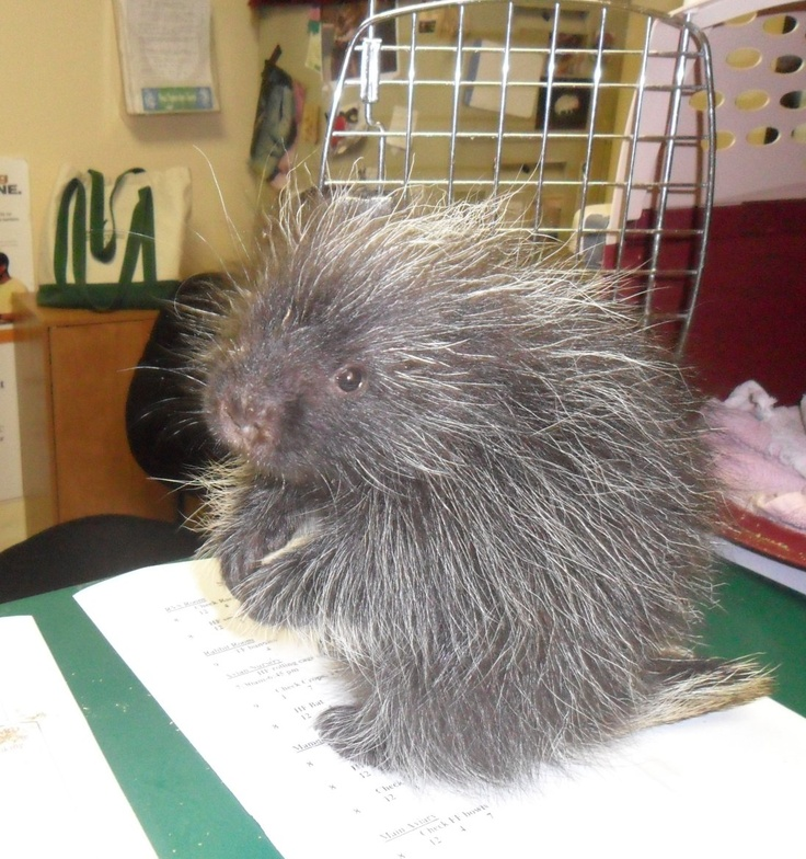 Erwin, our resident porcupine at the ARL Wildlife Rehab Center. He is assisting with the front office work!