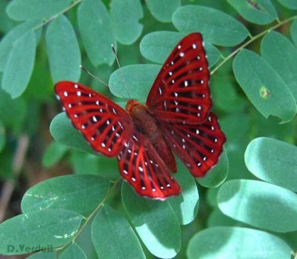 Punchinello (Zemeros flegyas), Thailand. Like many tropical butterflies they show different wet and dry season forms.