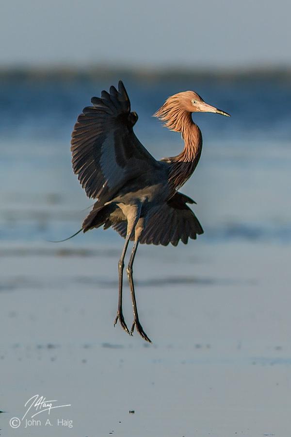 Vertical Descent egret, wader, Florida, Merritt Island, Reddish Egret, NWR,