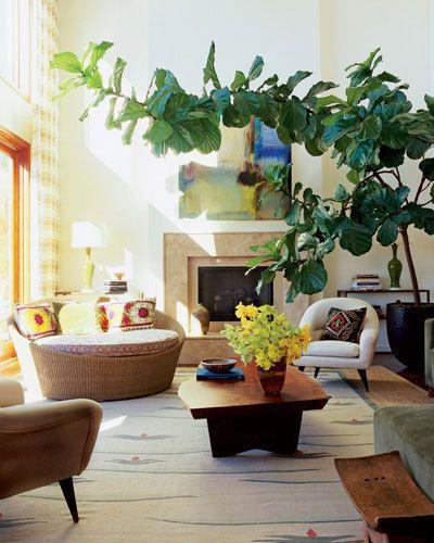 giant indoor plant via ATHouse Plants, Elle Decor, Living Room, Fiddleleaf, Indoor Trees, Leaves, Figs Trees, Fiddle Leaf Figs, Indoor Plants