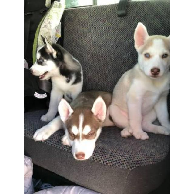 Siberian Husky Salinas Should Rehome Blue Eyes Full Breed
