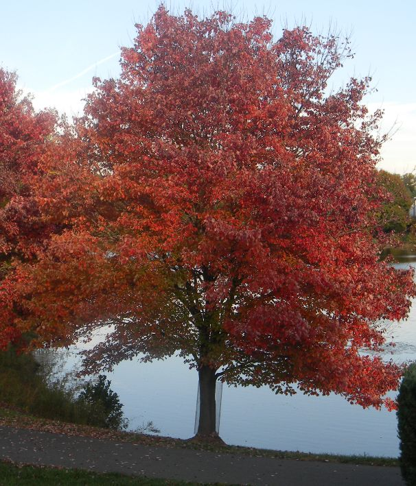 Views from the Garden: Autumn Blaze Maple Tree Planting and Care