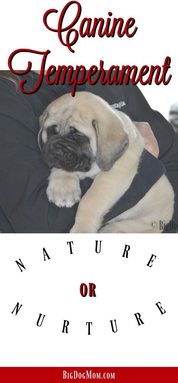 Nature versus nurture is an age old question, but as it relates to the drivers of canine temperament, there is an answer. #CanineBehavior #DogScience #BigDogMom  Temperament / Canine Behavior / Dog Behavior / Dog Behavior Explained