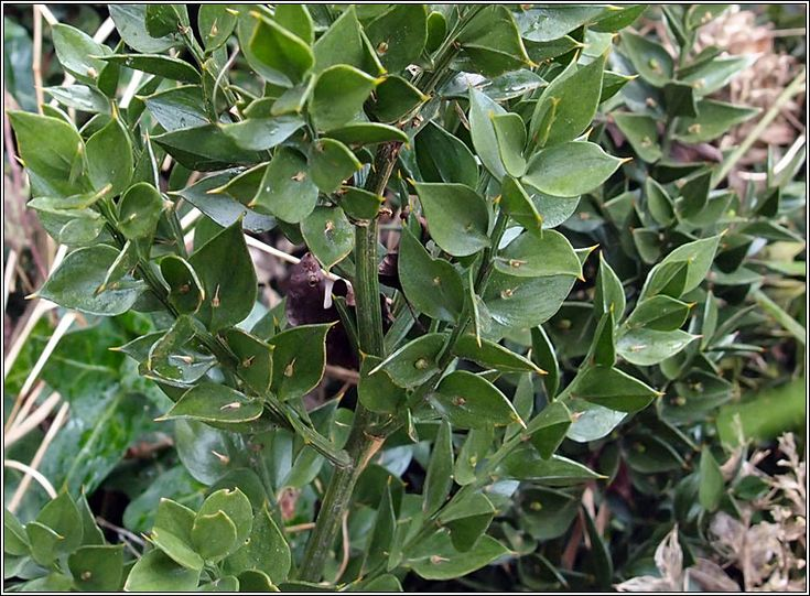 M s de 25 ideas incre bles sobre arbustos de hoja perenne for Caracteristicas de los arboles de hoja perenne