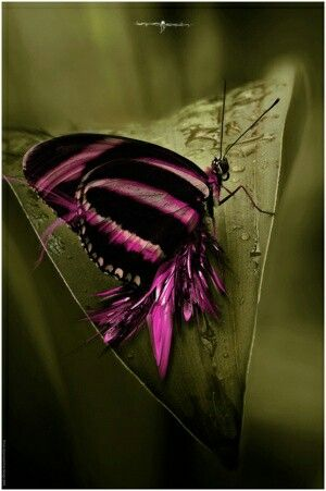 Pink & Black Butterfly