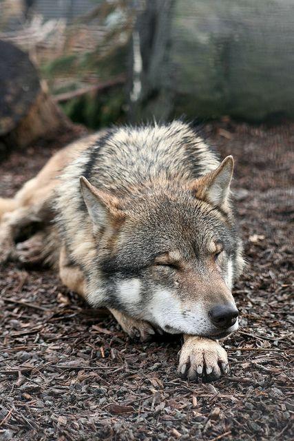 Beautiful sleeping wolf.