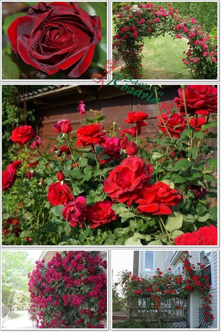 róże pnące Don Juan pachnące