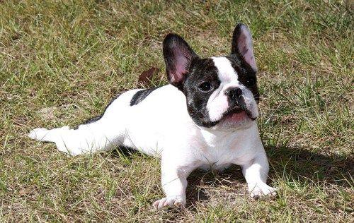 french-bulldog. Dziś są to psy towarzyskie i stróżujące. Psy są przyjazne dla dzieci.Wiadomo, że buldogi francuskie posiadali król Anglii Edward VII, tancerka Anna Pawłowa czy projektant mody Yves Saint Laurent.