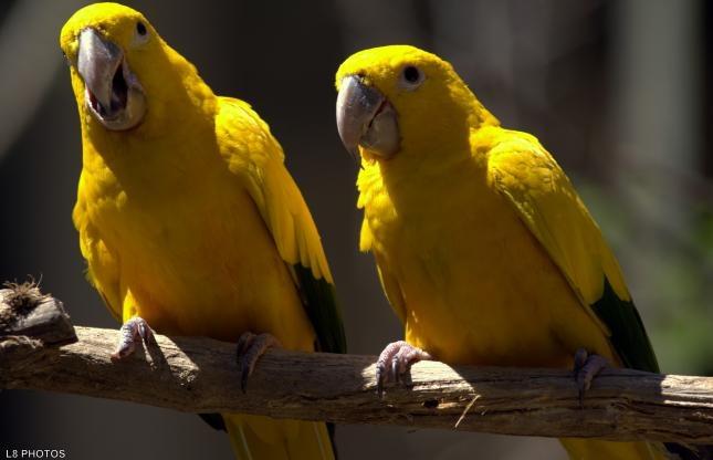 Guaruba guarouba - this bird live exclusively in the Amazon rainforest. Brazil.