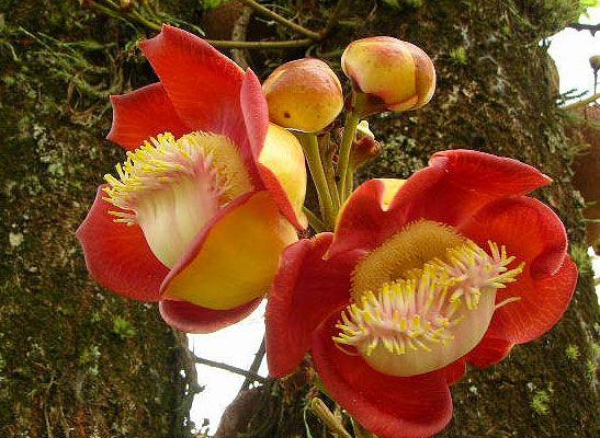 212 melhores imagens de flores raras e ex ticas no for Plantas exoticas online