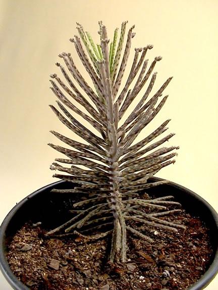 Kalanchoe tubiflora Kalanchoë delagoensis (Syn: Kalanchoë  tubiflora)