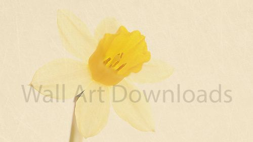 Freshen up your walls! Download this image of a yellow daffodil to print out and hang