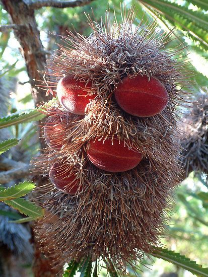 Banksia seeds forming inside red velvet pods by Karen Eaton