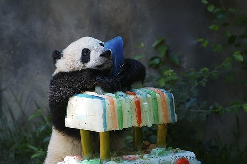 Yun Zi celebrates his 1st birthday at the San Diego Zoo on August 5, 201