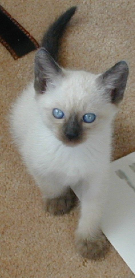 Applehead Siamese Kitten - Spoil your kitty at www.coolcattreehouse.com