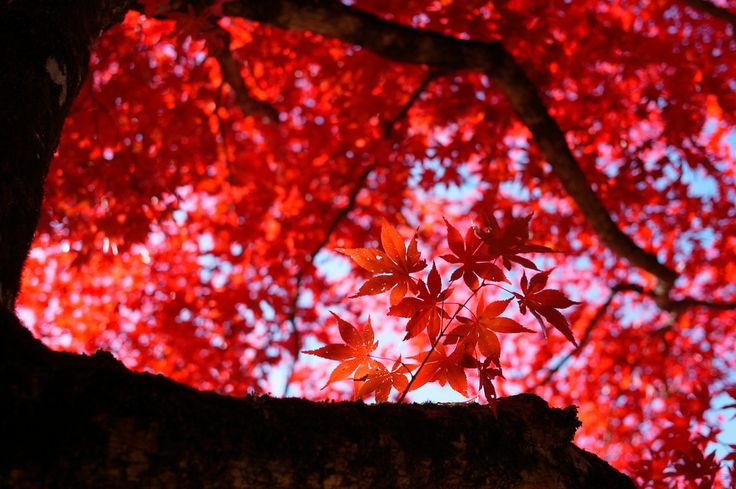 The grace and beauty of Japanese maples  por Fotopedia Editorial Team
