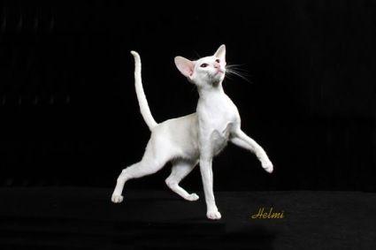 White cat - Oriental Shorthair