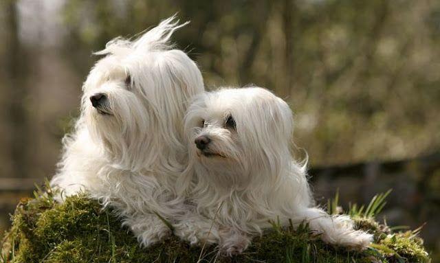 Bichon Maltes: origen, cuidados, precio,  perro, características, alimentación, imágenes y vídeos: 5 Verdades Sobre el Bichón Maltés