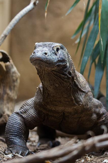 Komodo Dragon at ZSL London Zoo by Sophie L. Miller, via Flickr