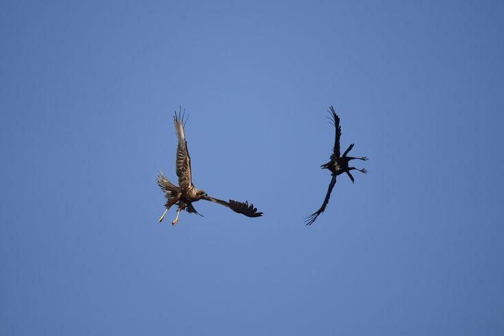 Hoewel de kraai een stuk kleiner is, toont hij weinig angst en gaat vol in gevecht met een kiekendief. Zwarte kraaien proberen regelmatig prooien af te pakken van roofvogels en dat wordt niet altijd gepikt. Fotograaf: tballe