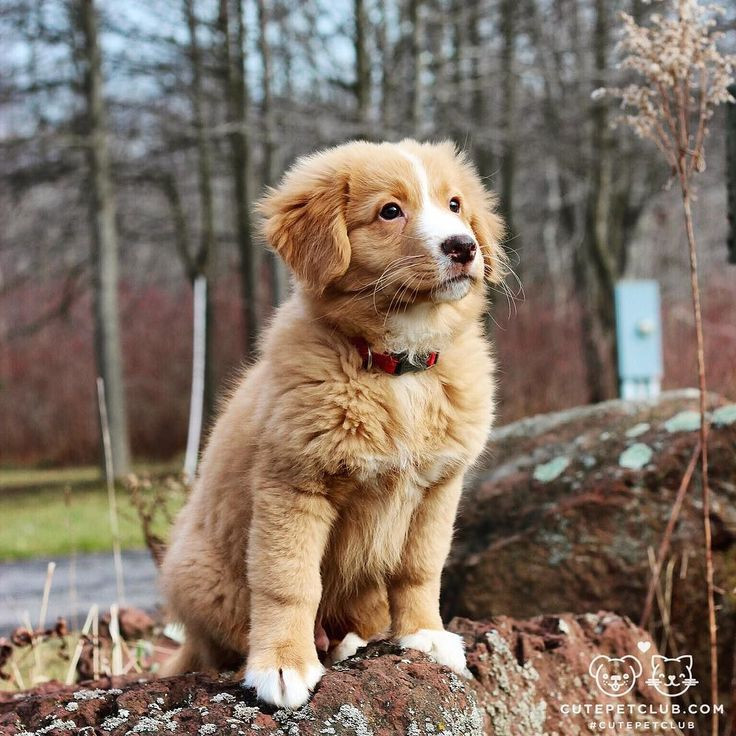 """From @lincolntoller: """"My name is Lincoln and I'm a Nova Scotia Duck Tolling Retriever puppy from Upstate NY! I love playing outside and causing a ruckus including eating every one of my mom and dad's socks! My favorite thing to do is play play play! Come check out my account I love new friends!"""" #cutepetclub by: @cutepetclub"""