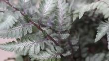 Godzilla - Japanese Painted Fern. 3 ft tall and 6 ft wide