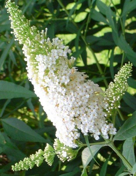Buddleja davidii 'White Profusion' - vlinderstruik - Heesters | Maréchal