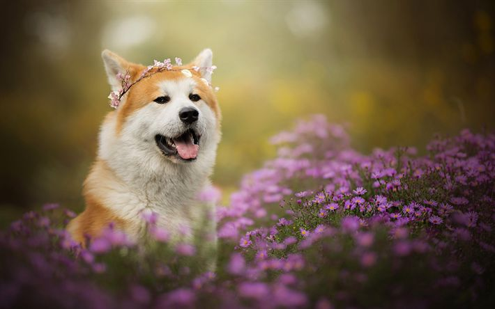 Download wallpapers Akita Inu, cute animals, dogs, flowers