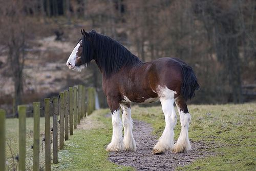 Clydesdale Stallion II | Here's a full body shot of Alex. No… | Flickr