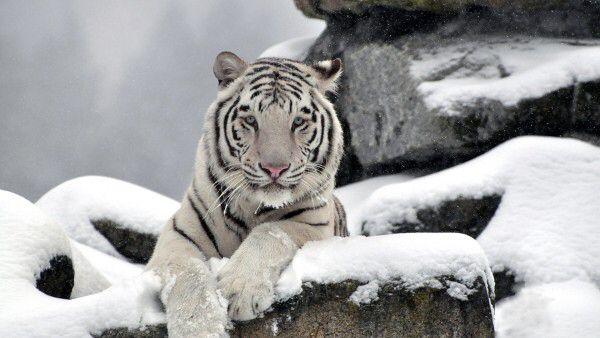 Imagen de http://fondoimagen.com/file/3352/600x338/16:9/tigre-siberiano_743818672.jpg.