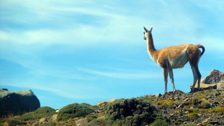 Guanaco en Torres del Paine. Foto de Alex Silva Z.