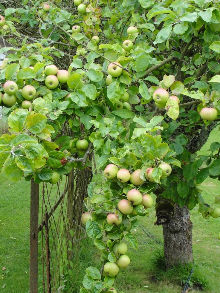 Lush Apple Tree!