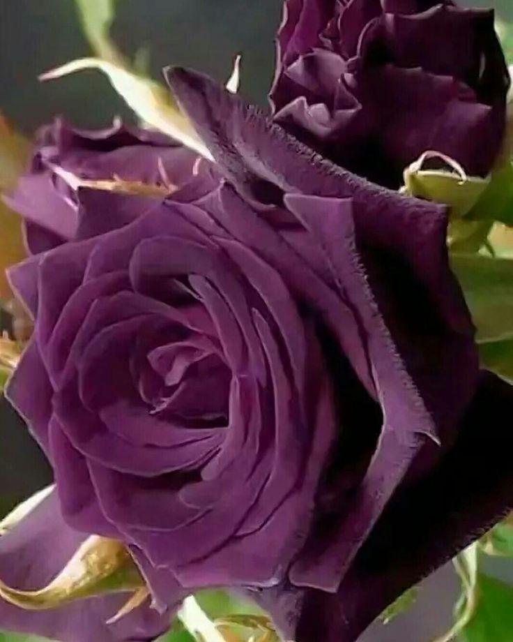 Encatadora rosa y bellisimo color