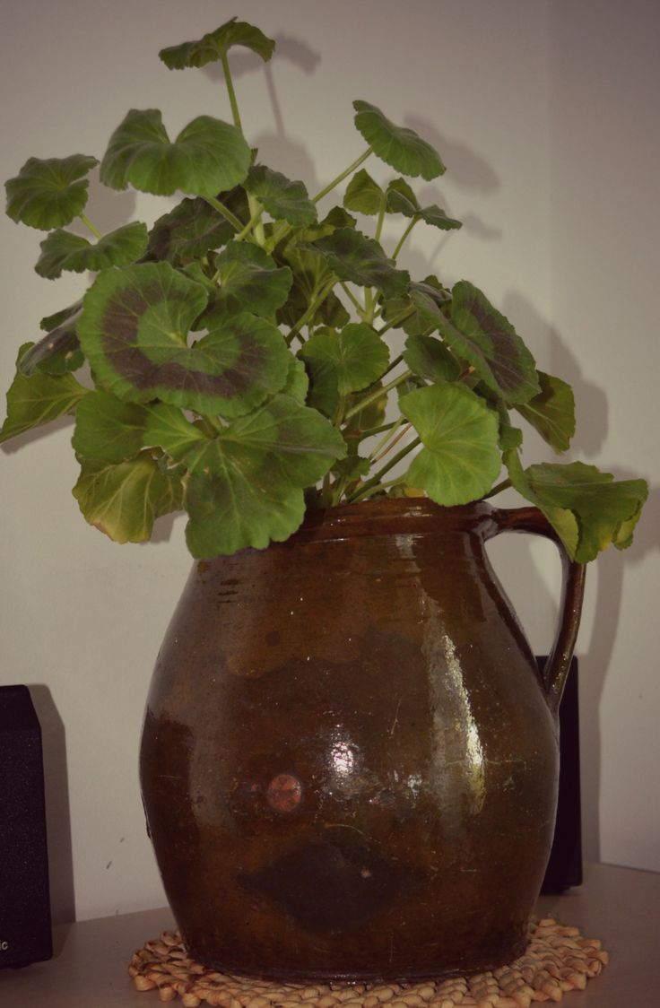 geraniums in old pot