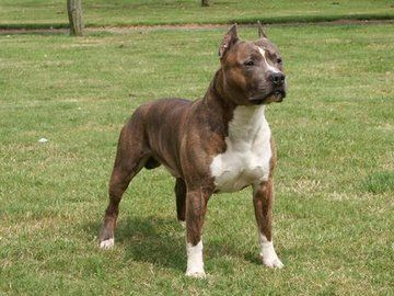 Amstaff Type - Redboys Amstaffs - Breeders of Working American Staffordshire Terriers