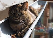 Les chats aiment se promener sur les hauteurs. Il n'est pas rare que des chats se promènent, se rencontrent, voire copulent dans les gouttières des maisons. Les chatons nés de ces rencontres, dont on ne connaît pas le père, ont pris le nom de chat de gouttière.
