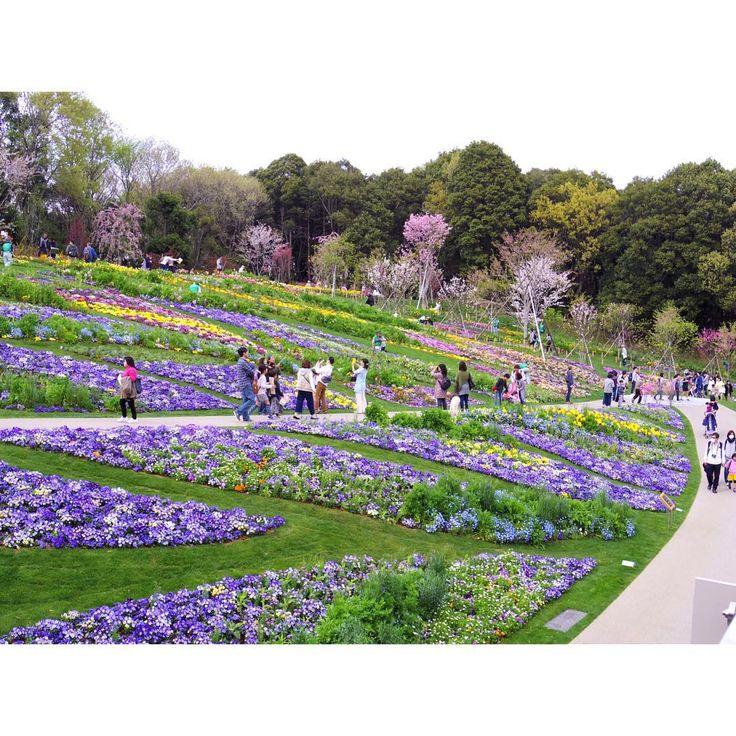 20170415 . #里山ガーデン #全国都市緑化よこはまフェア #ガーデンネックレス横浜2017 #ガーデンベア #花 #satoyamagarden #gardennecklace #gardenbear #flower . #pentax #pentaxian #photography #instapic #instaphoto #instajapan . 車椅子のおばあちゃんとお母さんと娘が仲良く散歩してたり、赤ちゃんを座らせてお父さんが地面に寝そべって一生懸命写真撮ってたり、娘の写真をお父さんとお母さんどっちがうまく撮れるか言い合ってたり、ベンチに座った老夫婦が一緒にお弁当食べて花が綺麗ねって会話してたり、しあわせだけが溢れた空間だった。しあわせしかなかった。ここに来るだけでしあわせになれる気がする。本当にいい場所。フェアが終わってもどうかなくならないでほしい。 http://tipsrazzi.com/ipost/1511451185751824372/?code=BT5wNhuFJf0