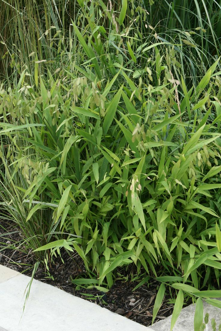 Northern sea oat grass prefers part shade down by the for Grasses used in landscaping