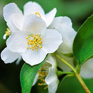 17 favorite fragrant blossoms   Mock orange   Sunset.com