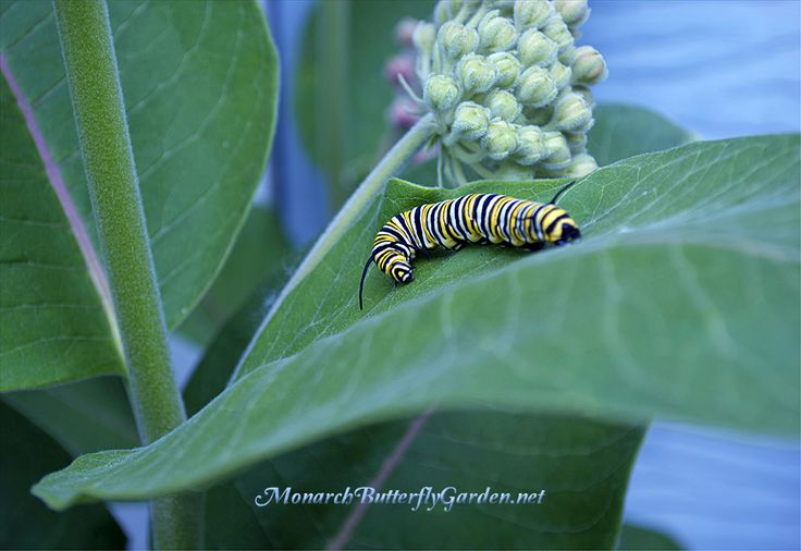 187 best images about milkweed for butterfly gardens on pinterest