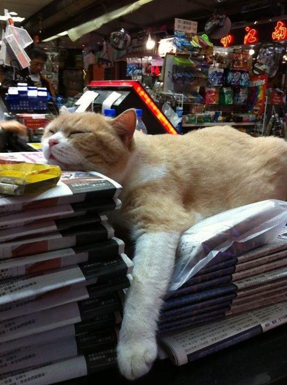 香港のコンビニ猫番長「クリーム兄貴」、クタっとしたその姿に熱視線集中 : カラパイア