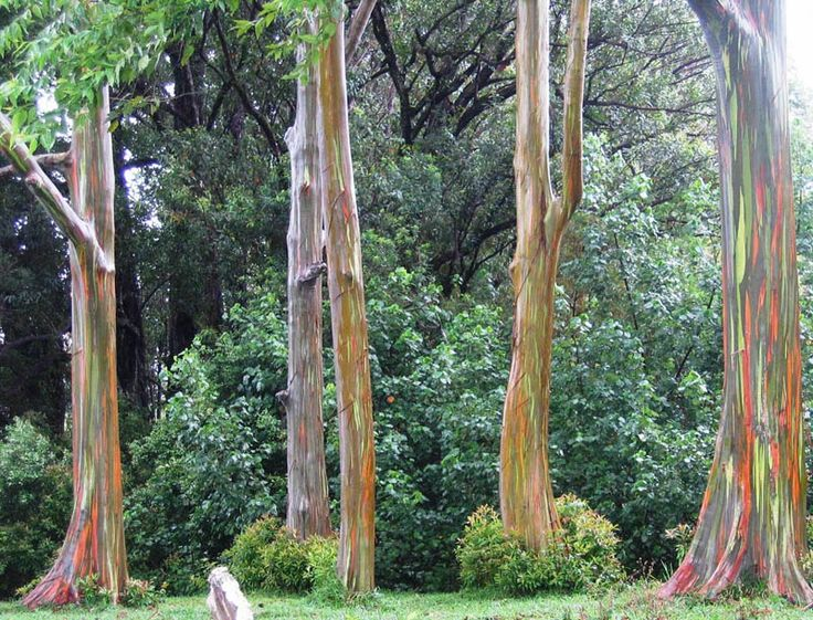 THE RAINBOW EUCALYPTUS TREE   Photograph by Amanda Pope @ About Unknown (abt-unk.blogpost.ca)   Posted to Reddit earlier today, this gorgeous photograph by Amanda Pope shows a group of Rainbow Eucalyptus trees spotted just off the Hana Highway in east Maui. Eucalyptus deglupta is a tall tree, commonly known as the Rainbow Eucalyptus, the [...]