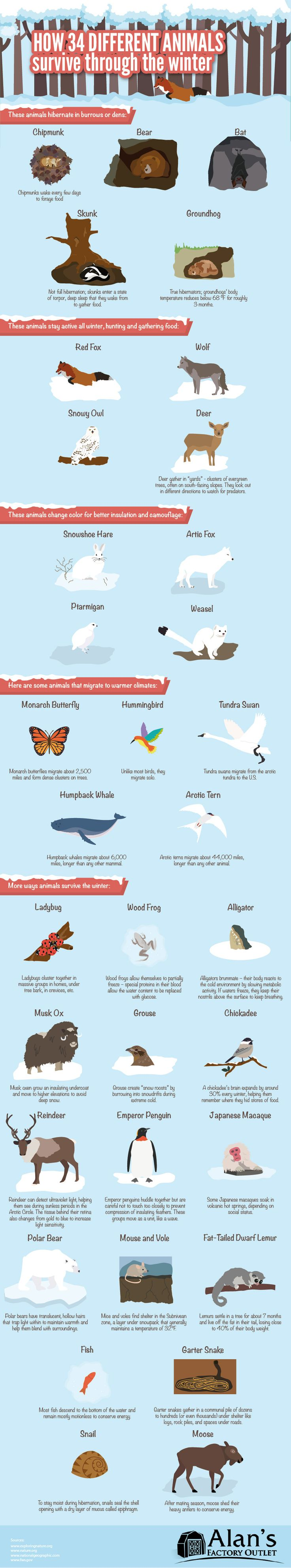 As you hustle through the bitter cold and dark to your car after a long day of work, do you ever wonder how animals survive in the winter? It is common knowledge that many species of birds migrate thousands of miles to warmer climates, but did you know that some butterflies and whales also embark on epic journeys to escape the freeze? In the following infographic, Alan's Factory Outlet looks at how 34 different animals survive through the winter.