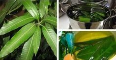 Esta folha controla o diabetes, normaliza a pressão e elimina o problema de má circulação! ~ Eco Vida - Bom Despacho