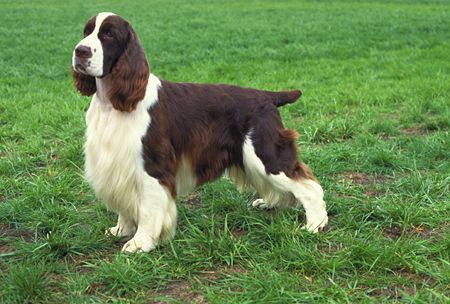 The kind of dog who helped me thru my childhood.  English Springer Spaniel..what a beauty