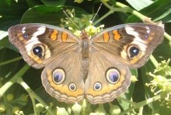Butterfly+Identification+And+Guide