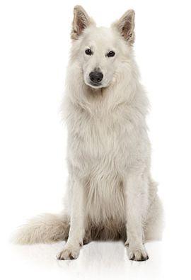 Race de chien: Berger Blanc Suisse                                                                                                                                                                                 Plus