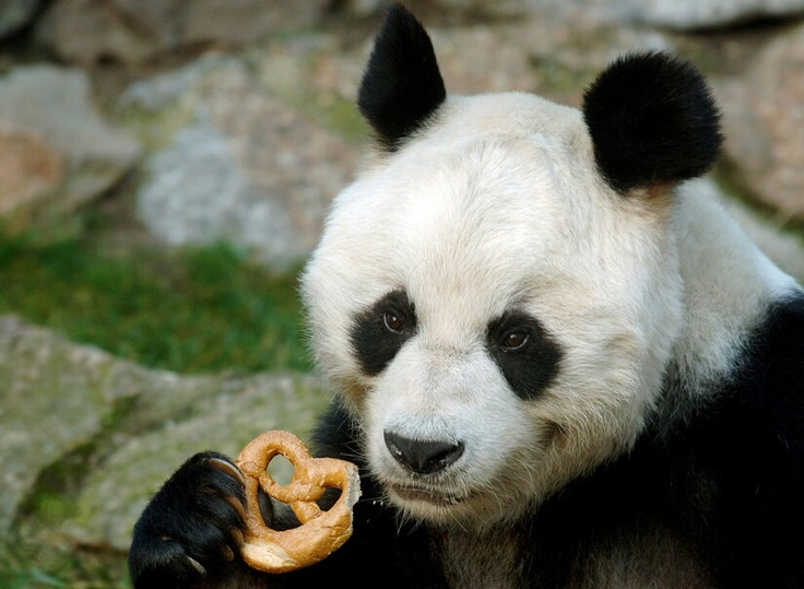 Great  The Berlin Zoo us panda Bao Bao has